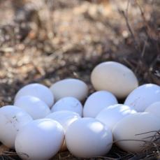 尼西鸡蛋20枚 礼盒装
